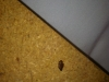 bed-bug-defecating