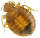 bedbug-header_2